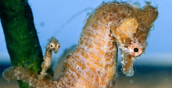 seahorse-father-newborn_10210_600x450